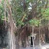 台湾最古の町「安平」のガジュマルに覆われた廃墟「安平樹屋」
