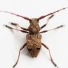私がイチオシする昆虫!! 『昆虫の魅力とは』 番外編~カミキリムシ~