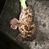 3月中旬ホタルイカパターンでカサゴ釣果