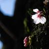 開花宣言の翌日に、桜の花を探しに行った。