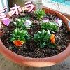 米のとぎ汁を捨てるのはもったいない!花・植物の栄養に再利用/YouTube更新しました(ハムスター編)