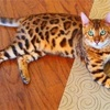 自称「犬にも猫にも詳しい人」、ベンガルに惑う