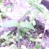 ミドリハコベ(緑繁縷)とコハコベ(小繁縷)