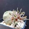 少し前に初めて咲いたプセウドリトス