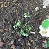 ちーくんが蒔いた種から芽が出たと思ったらなんか変(・・;)