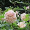 小さな庭のバラ  Ⅱ