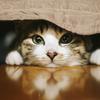 なぜネコはマタタビが好きなのか?