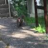 猿の影像!神奈川県小田原早川、石橋、片浦地区のサル市環境保護課が全頭駆除へ