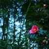 東行庵の椿が咲き始めました
