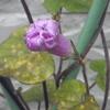 琉球アサガオは咲かなくなった
