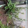 月桂樹を地植え(2014/03/29)
