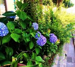 ★紫色の紫陽花