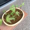 もみじ盆栽の復活