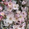 渡米前に間に合った桜の開花宣言。上野公園の桜を見てから旅立ちました。