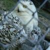シロフクロウのヒナ