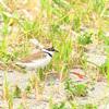 検見川浜の営巣保護地