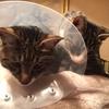 animal Hospital - ラブラドール ルーク 猫のアトムと病院に行く