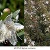 アプロディーテー(ウェヌス/ ビーナス)とマートル(ギンバイカ)2.    ⇒アプロディーテーと没薬(もつやく)の木(ミルラの木) 「マートルはアプロディーテーの神木」を裏付ける神話として,マートルに変身したミルラの物語が挙げられますが.現在残っているギリシャ神話原典は,ほぼ全て「ミルラが変身した植物は「没薬(もつやく)の木(ミルラの木)」としています.