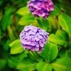 今朝の紫陽花LUMIX-G2+C25mm