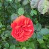 ちょこちょことフライング気味に咲くバラたち〜つるチンチン、アンジェラ2015/04/25