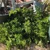 家庭菜園の醍醐味とは何か