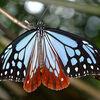 「旅する蝶」アサギマダラ、日本にもいた渡りの達人/ 海に落ちてもたちなおり、ふたたび舞い上がる…