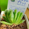 🌵多肉植物 植え替え作業①グリーン玉扇 他🌵