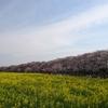 幸手権現堂桜堤でお花見してきた!-青空・桜・菜の花の鮮やかな色彩の三重奏-