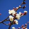 花撮影シーズン到来。まずは早咲きの梅。