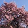 早春の伊豆の風物詩「河津桜まつり」で咲き誇る河津桜をお花見