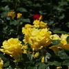 金沢南総合運動公園の薔薇園(その1)