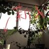 【観葉植物】シルバーレディーを購入した。