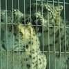 東山動物園、ハニーとリアンのウィンク