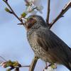 桜を食べるヒヨドリ