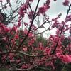 早めの桜と沖縄そば