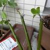 ガーデニング:水耕栽培用の肥料を加えてみました。