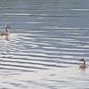 今朝の瓢湖