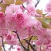 満開の八重桜 川越水上公園