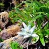 岩手県の早池峰山に登ってきました(高山植物その他編)(追記)