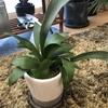 ビカクシダの新芽が伸びてきております。