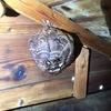 浜松市で屋根裏のキイロスズメバチの巣を駆除!