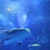 のとじま水族館のジンベエザメが再び二頭になっていた