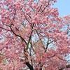 桜と配置と散歩と