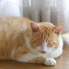 結石猫ダイちゃん、尿路閉塞のため入院中。