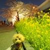 春のお花見散歩(3)(2017/4/4)