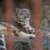ユキヒョウ Panthera uncia