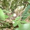 モッコウバラの中にいた「キジバト」営巣の顛末(人がそばに近づいても身じろぎ一つしなかった理由)!