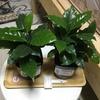 ダイソーで買った 観葉植物!