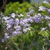 ブリスベンの花(1)
