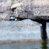 大阪城公園の野鳥 2020.4.6
